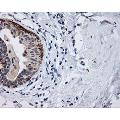 anti-MCL-1 anticorps (Induced Myeloid Leukemia Cell Differentiation Protein Mcl-1)