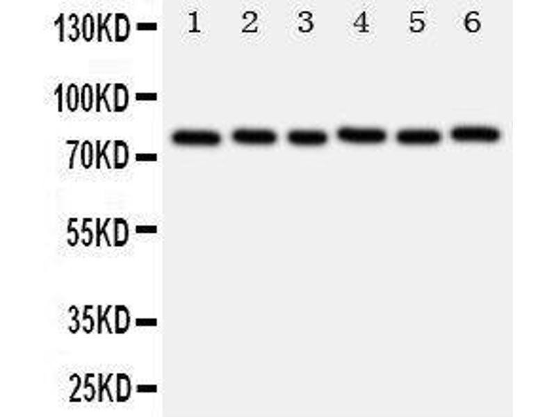 Western Blotting (WB) image for anti-V-Myb Myeloblastosis Viral Oncogene Homolog (Avian)-Like 2 (MYBL2) (AA 1-17), (N-Term) antibody (ABIN3044010)