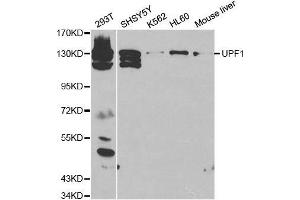 Image no. 1 for anti-UPF1 Regulator of Nonsense Transcripts Homolog (Yeast) (UPF1) antibody (ABIN3022069)