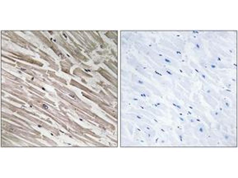 Image no. 1 for anti-Mitochondrial Ribosomal Protein L44 (MRPL44) (AA 221-270) antibody (ABIN2890056)