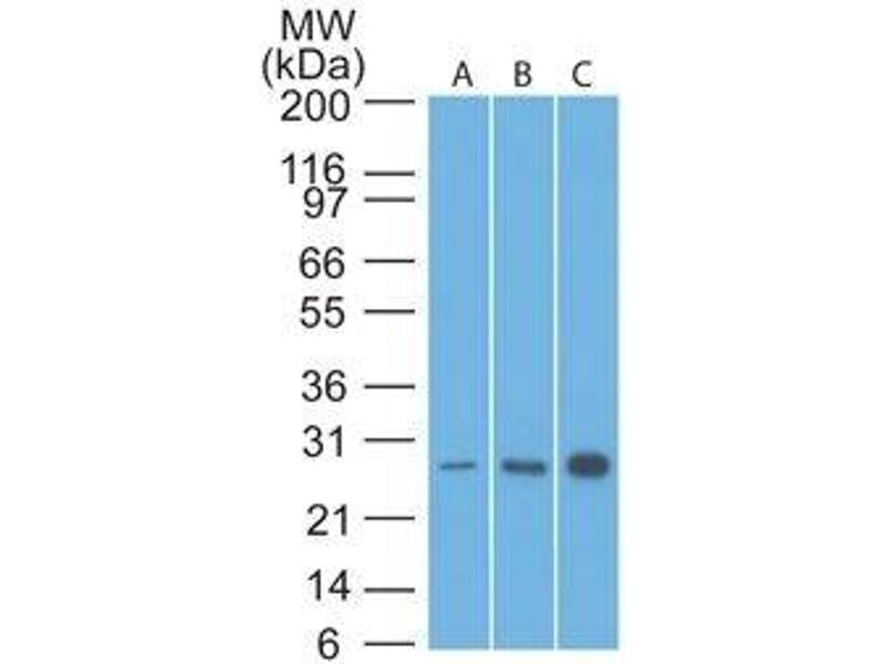 image for anti-B-Cell CLL/lymphoma 2 (BCL2) (AA 41-54) antibody (PerCP) (ABIN6174825)