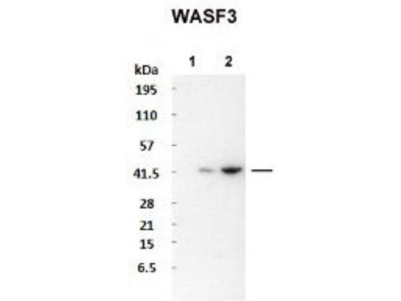 Western Blotting (WB) image for anti-WASF3 antibody (WAS Protein Family, Member 3) (N-Term) (ABIN4890461)