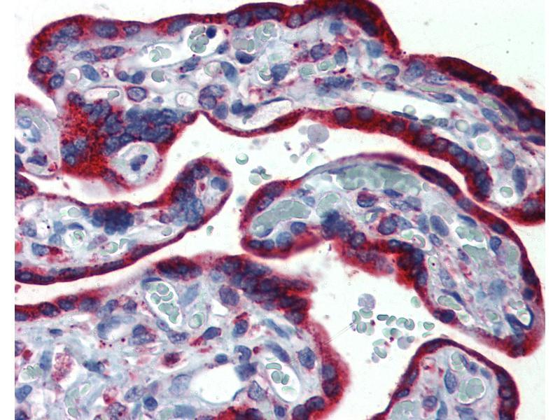Immunohistochemistry (IHC) image for anti-Endoplasmic Reticulum Protein 44 (ERP44) (C-Term) antibody (ABIN790276)