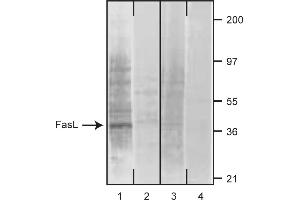 Western Blotting (WB) image for anti-FASL antibody (Fas Ligand (TNF Superfamily, Member 6)) (ABIN1176953)