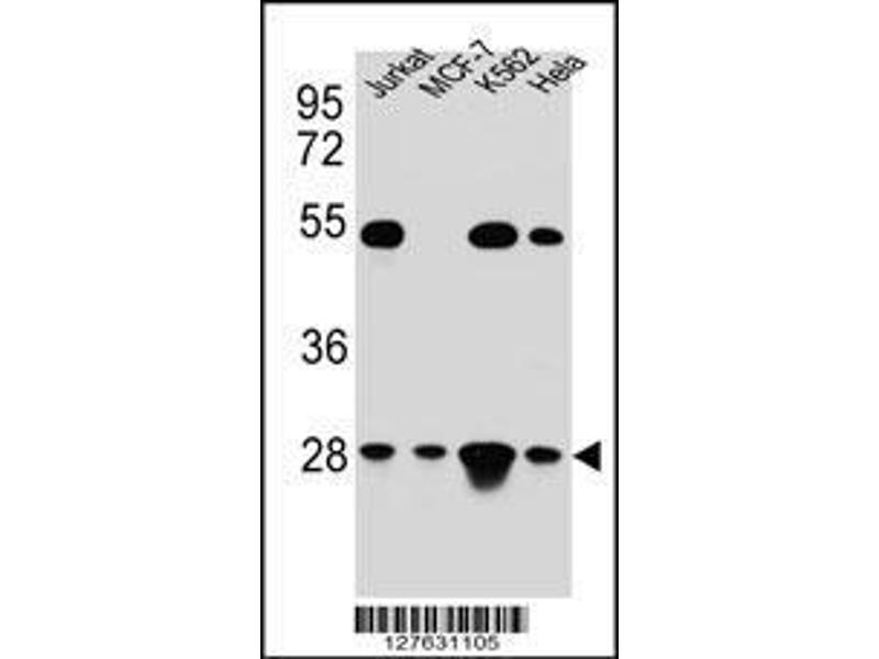 Western Blotting (WB) image for anti-TFAM antibody (Transcription Factor A, Mitochondrial) (AA 216-246) (ABIN654229)