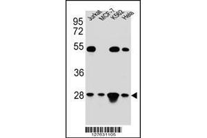 Western Blotting (WB) image for anti-Transcription Factor A, Mitochondrial (TFAM) (AA 216-246), (C-Term) antibody (ABIN654229)