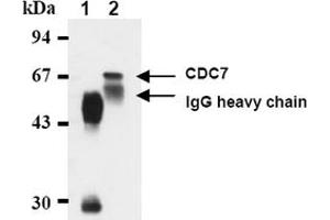 Image no. 2 for anti-Cell Division Cycle 7 Homolog (S. Cerevisiae) (CDC7) antibody (ABIN487481)
