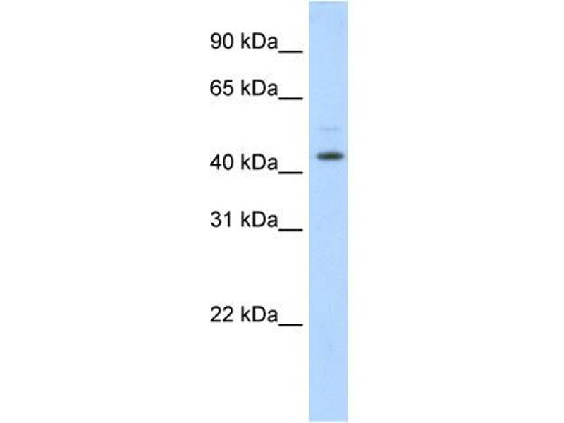 Image no. 1 for anti-Tumor Susceptibility Gene 101 (TSG101) (Middle Region) antibody (ABIN2780037)