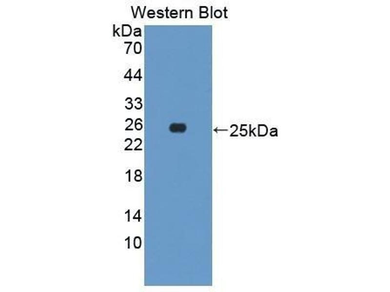 Western Blotting (WB) image for anti-Growth Hormone 1 (GH1) (AA 27-216) antibody (ABIN1862539)