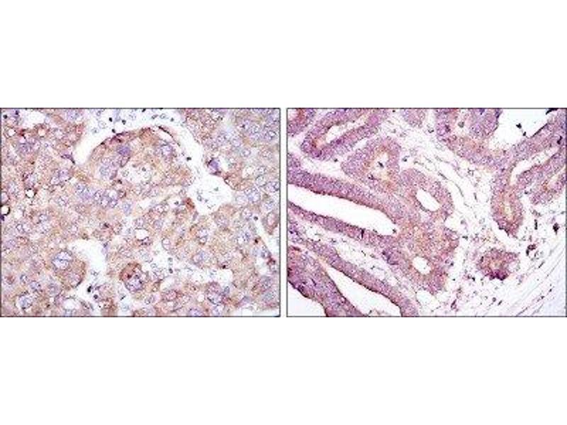 Immunohistochemistry (IHC) image for anti-RBP4 抗体 (Retinol Binding Protein 4, Plasma) (ABIN4349658)