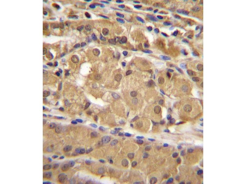 Immunohistochemistry (IHC) image for anti-IRF9 antibody (Interferon Regulatory Factor 9) (AA 75-104) (ABIN655818)