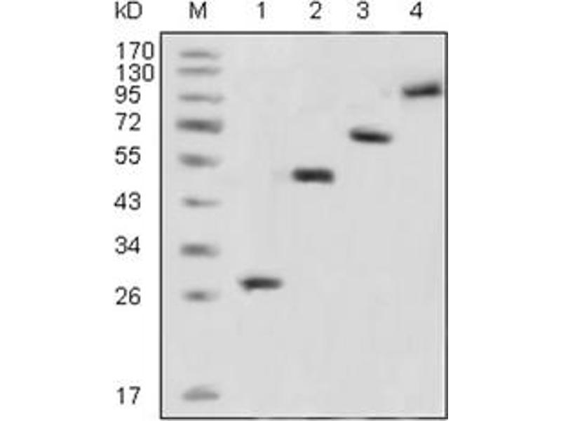 Western Blotting (WB) image for anti-Green Fluorescent Protein (GFP) antibody (ABIN1107357)