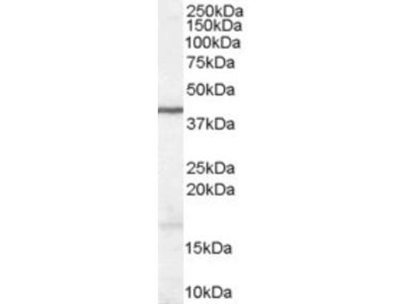 Western Blotting (WB) image for anti-Wingless-Type MMTV Integration Site Family, Member 3 (WNT3) (Internal Region) antibody (ABIN2466453)