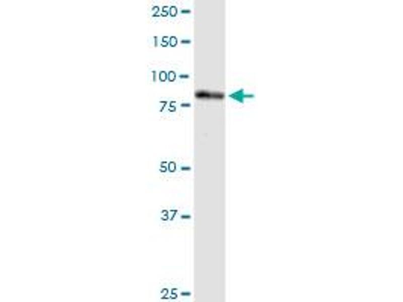 Image no. 3 for anti-Polyribonucleotide Nucleotidyltransferase 1 (PNPT1) (AA 1-783) antibody (ABIN950106)