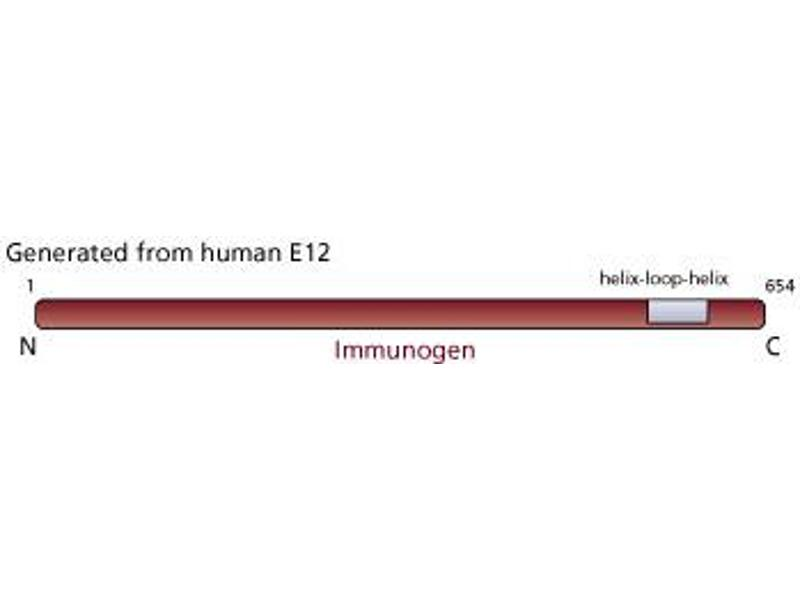 image for anti-TCF3 antibody (Transcription Factor 3) (ABIN967433)