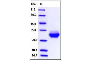 Image no. 1 for C-Reactive Protein (CRP) (AA 1-230), (Extracellular Domain) protein (His tag) (ABIN2009081)
