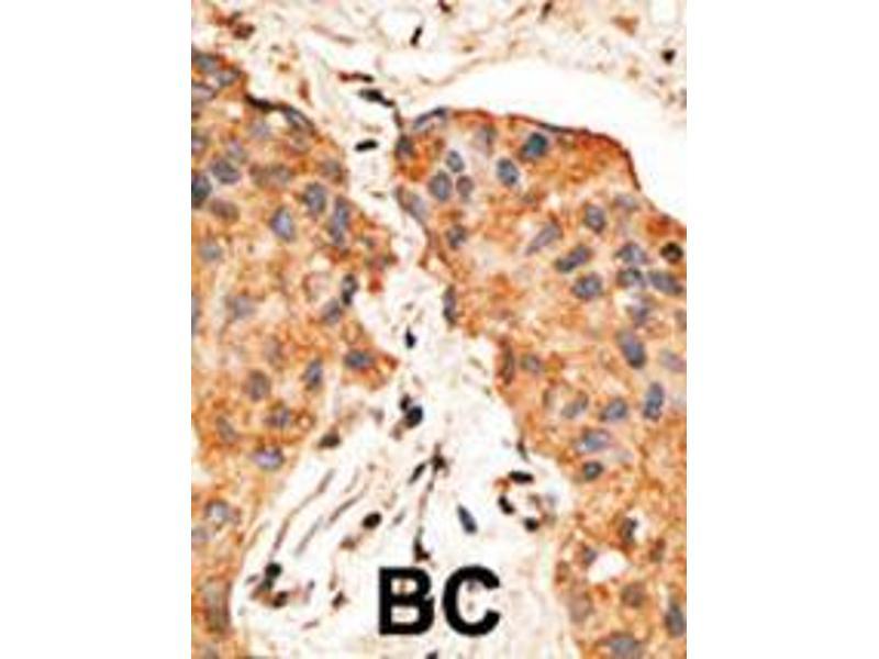 Immunohistochemistry (IHC) image for anti-Neuregulin 1 antibody (NRG1) (AA 198-229) (ABIN390160)