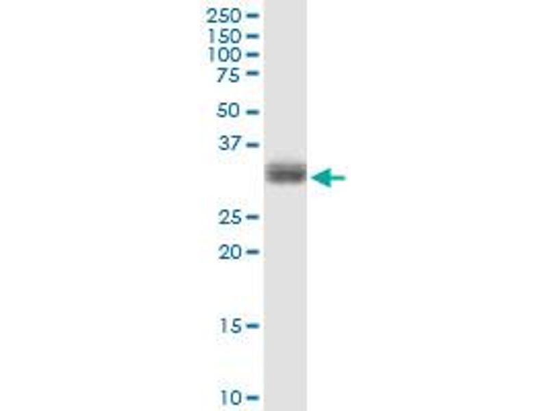 Western Blotting (WB) image for anti-phospholipid Scramblase 1 (PLSCR1) (AA 1-318), (full length) antibody (ABIN518980)