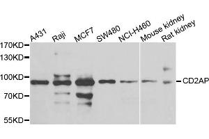Image no. 1 for anti-CD2-Associated Protein (Cd2ap) antibody (ABIN2736474)