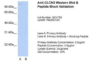 Image no. 3 for anti-Chloride Channel 3 (CLCN3) (C-Term) antibody (ABIN2776327)