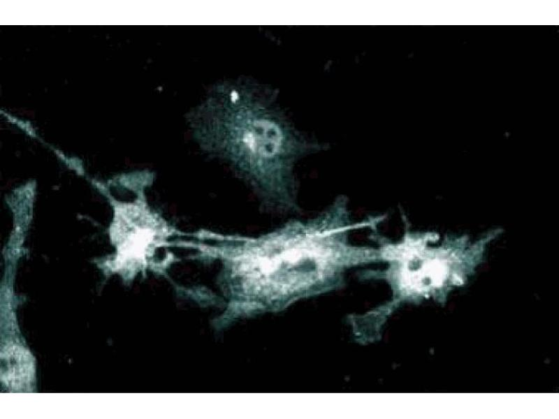 Immunofluorescence (IF) image for anti-NOS2 antibody (Nitric Oxide Synthase 2, Inducible) (ABIN967908)