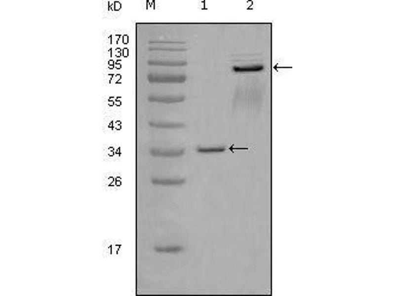 Western Blotting (WB) image for anti-EPH Receptor A7 antibody (EPHA7) (AA 27-210) (ABIN969104)