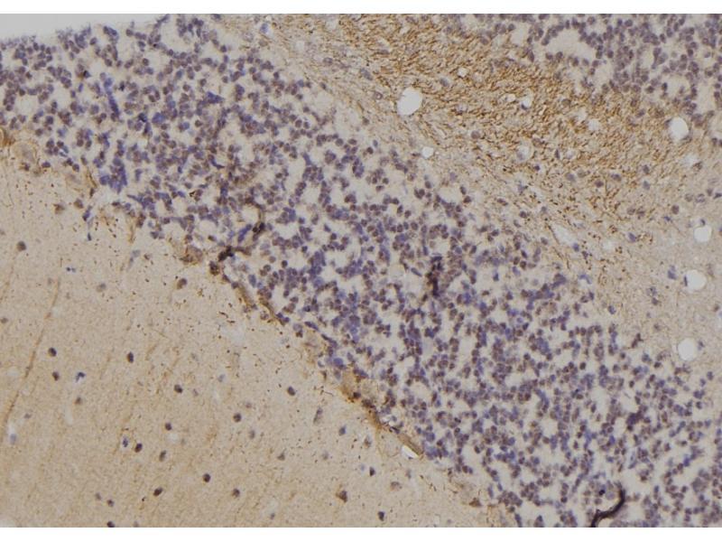 Image no. 1 for anti-Fatty Acid Binding Protein 7, Brain (FABP7) (pThr117) antibody (ABIN6269485)