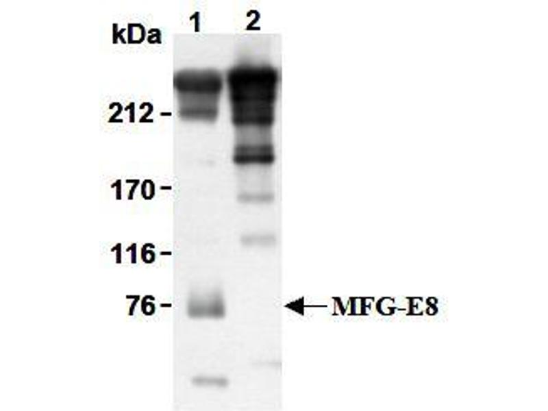 Western Blotting (WB) image for anti-MFGE8 antibody (Milk Fat Globule-EGF Factor 8 Protein) (ABIN1449192)