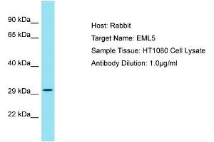 Image no. 1 for anti-Echinoderm Microtubule Associated Protein Like 5 (EML5) (Middle Region) antibody (ABIN2791494)