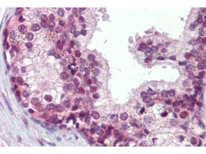 Image no. 2 for anti-Elf4 (AA 211-237) antibody (ABIN462321)