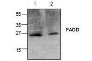 Western Blotting (WB) image for anti-FADD antibody (Fas (TNFRSF6)-Associated Via Death Domain) (ABIN222894)