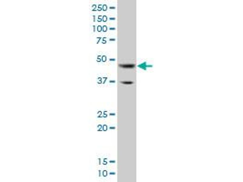 Western Blotting (WB) image for anti-GATA Binding Protein 3 (GATA3) (AA 103-200), (partial) antibody (ABIN515952)