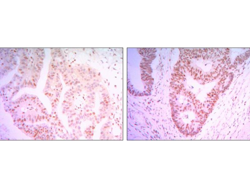 Immunohistochemistry (IHC) image for anti-THAP Domain Containing 11 (THAP11) antibody (ABIN969436)