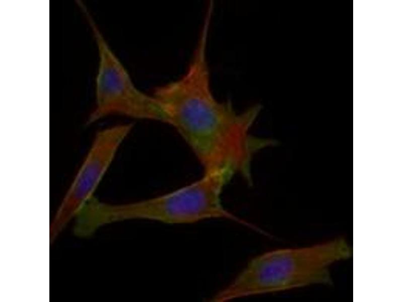 Immunofluorescence (IF) image for anti-Fatty Acid Binding Protein 2, Intestinal (FABP2) antibody (ABIN1107163)