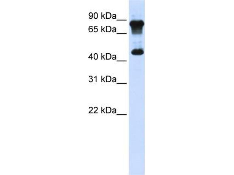 Western Blotting (WB) image for anti-MYC-Associated Zinc Finger Protein (Purine-Binding Transcription Factor) (MAZ) (N-Term) antibody (ABIN2780422)