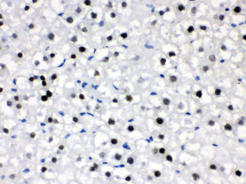 Immunohistochemistry (IHC) image for anti-Cryptochrome 2 (Photolyase-Like) (CRY2) (AA 171-200), (N-Term) antibody (ABIN3042760)