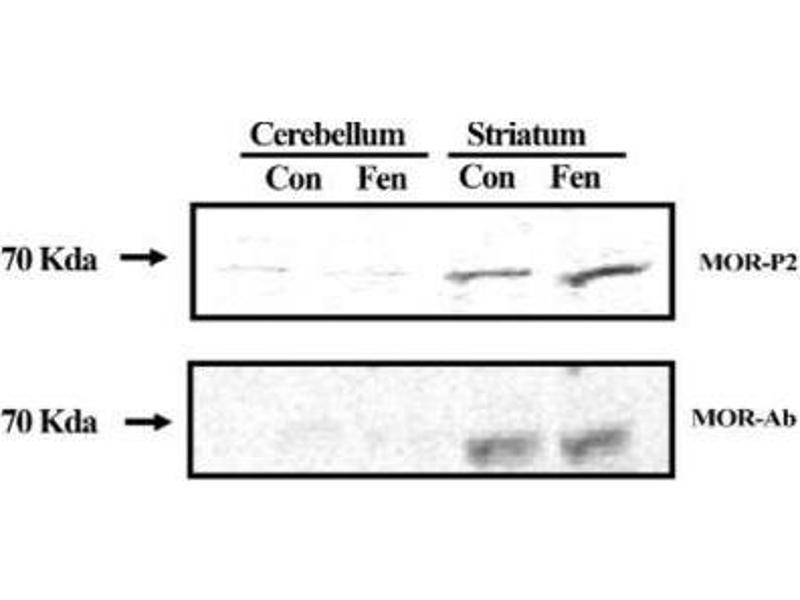 Western Blotting (WB) image for anti-Opioid Receptor, mu 1 (OPRM1) (C-Term) antibody (ABIN250445)