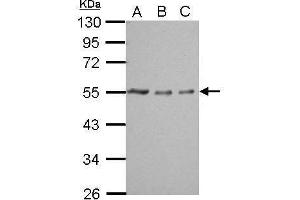 Western Blotting (WB) image for anti-TUBA1A antibody (Tubulin, alpha 1a) (ABIN2498108)