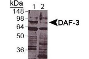Western Blotting (WB) image for anti-Abnormal DAuer Formation Family Member (Daf-3) (DAF-3) (AA 700-796), (C-Term) antibody (ABIN250572)