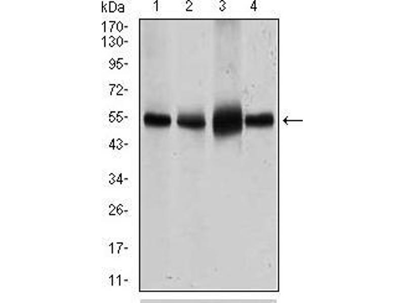 Western Blotting (WB) image for anti-Solute Carrier Family 2 (Facilitated Glucose Transporter), Member 4 (SLC2A4) (AA 224-353) antibody (ABIN1724744)