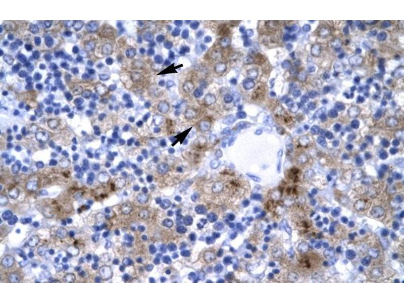 Immunohistochemistry (IHC) image for anti-Interferon Regulatory Factor 9 (IRF9) (N-Term) antibody (ABIN2777226)