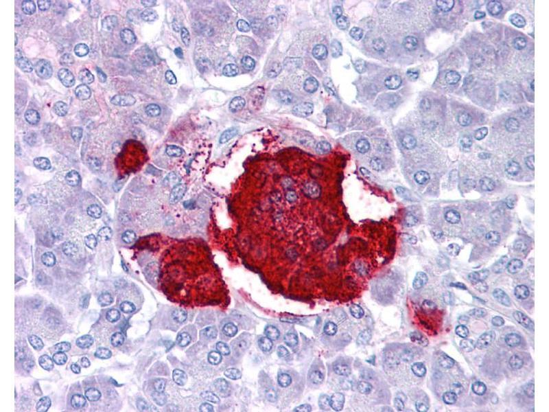 Immunohistochemistry (IHC) image for anti-Leptin antibody (LEP) (Middle Region) (ABIN2776944)