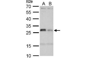 Image no. 2 for anti-Major Histocompatibility Complex, Class II, DM alpha (HLA-DMA) (Center) antibody (ABIN2856977)