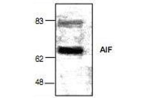 Western Blotting (WB) image for anti-AIFM1 antibody (Apoptosis-Inducing Factor, Mitochondrion-Associated, 1) (ABIN222988)