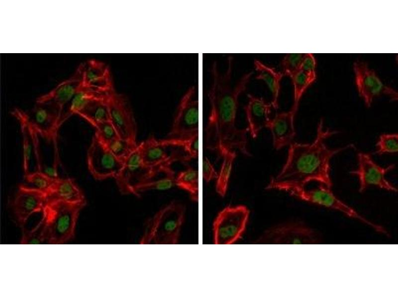 Immunofluorescence (IF) image for anti-DEAD Box Protein 4 (DDX4) antibody (ABIN1106960)