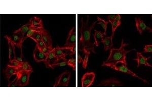 Image no. 3 for anti-DEAD Box Protein 4 (DDX4) antibody (ABIN1106960)