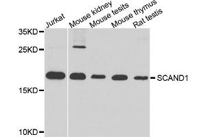 Image no. 1 for anti-SCAN Domain Containing 1 (SCAND1) antibody (ABIN6571665)