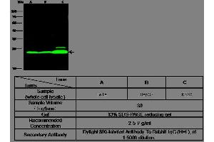 Image no. 2 for anti-Flavin Reductase (BLVRB) (AA 2-206) antibody (ABIN1999951)