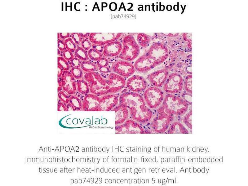 Image no. 2 for anti-Apolipoprotein A-II (APOA2) antibody (ABIN1731866)
