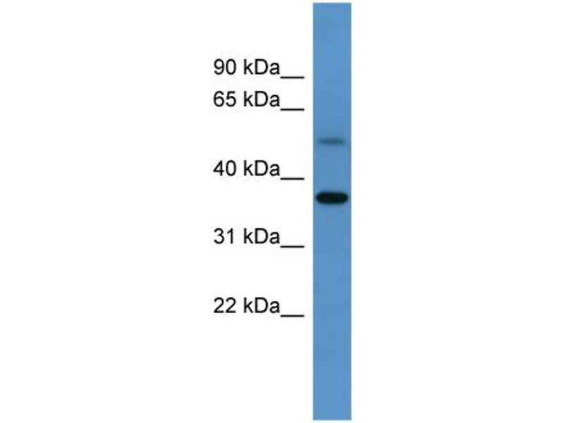 Western Blotting (WB) image for anti-Glycogenin (GYG) (C-Term) antibody (ABIN2783439)